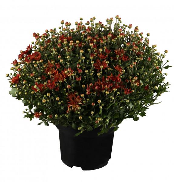 Chrysanthemen Busch XXL
